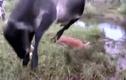 Video: Trăn khủng siết chết bê con, bò mẹ điên cuồng trả thù