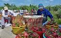 Lão nông bán chục tỷ tiền lươn, 26 tấn chôm chôm
