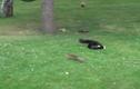 Video: Sóc chuột bẻ lái biến mèo nhà thành kẻ ngốc
