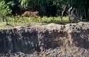 Video : Hổ Bengal vồ người đàn ông ngã xuống hố sâu