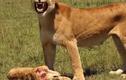 Video: Sư tử mẹ đau đớn phát hiện sư tử con chết