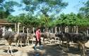 Nông dân Hà Giang nuôi đà điểu lãi lớn, thu nhập gây kinh ngạc