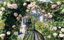 Vườn hoa hồng nở rực rỡ của vợ chồng Việt ở trời Âu