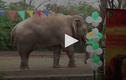 Video: Chú voi cô đơn nhất thế giới được mở tiệc chia tay