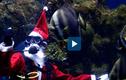 Video : Ông già Noel lặn xuống bể cho cá ăn