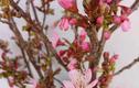 Dân Hà thành năm nay chơi hoa anh đào Trung Quốc