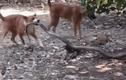 Video: Rắn hổ mang chúa dài gần 4m đối đầu 2 chó nhà