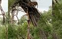 Video : Linh cẩu đu cả người để cướp mồi của báo đốm