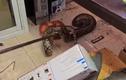 Video: Bắt trăn khủng ẩn náu trong nhà bếp của đồn cảnh sát