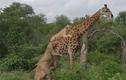 Video: Hươu cao cổ phản đòn đánh bại 6 sư tử