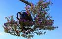 Hàng trăm cây bonsai mọc ngược được xác nhận kỷ lục Việt Nam