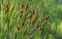 Hái xúc xích trên đồng cỏ đem bán, thu gần 200 nghìn/kg