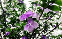Cây nhài cổ thụ hoa biến đổi màu, đại gia xếp hàng rước về