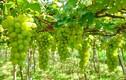 Trồng bắp bán thân cây, trồng nho bán lá ở Đồng Nai