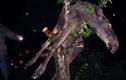 Nai sừng tấm say rượu bị mắc kẹt trên cây
