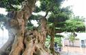 Chiêm ngưỡng cây sanh cổ trăm tuổi phong hóa cùng thời gian