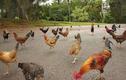 Quần đảo Hawaii biến thành nhà của gà hoang