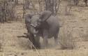 Video: Voi châu Phi dùng ngà đâm chết trâu rừng