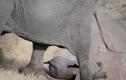 Video: Voi mẹ xử lý đi vào lòng người khi voi con ăn vạ