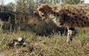 Video: Báo đốm liều mạng nghịch rắn hổ mang chúa