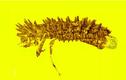 Phát hiện cụ bọ cánh cứng trong hổ phách 100 triệu năm