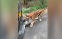 Video: Hổ rừng kéo lùi ô tô nặng gần 2 tấn