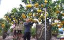 Thị trường cây cảnh: Ma trận bonsai