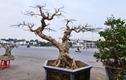 Ngắm cây sung thế lạ chờ đại gia ngã giá tiền khủng mang về