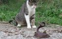 Video: Mèo nhà rủ nhau trêu rắn độc và cái kết