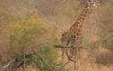 Video: Đàn sư tử cố bắt hươu cao cổ và cái kết