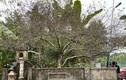 Cận cảnh cây đào trăm tuổi dáng hồ ly 9 đuôi xuống phố