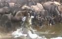 Video: Linh dương thoát chết ngoạn mục dù bị cá sấu lôi xuống nước