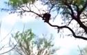 Video: Cả gan ăn thịt báo săn con, đại bàng trả thù kinh hoàng