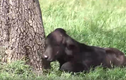 Video: Nghé con lạc mẹ bị chúa sơn lâm xơi tái