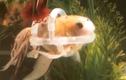 Chú cá duy nhất trên thế giới phải mặc áo phao để bơi