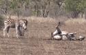 Video: Ngã không dậy nổi, ngựa vằn nhận cái kết đắng