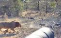 Video: Chúa sơn lâm lao vào giữa bầy chó hoang và cái kết