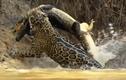 Video: Báo đốm phi thân xuống sông tóm gọn cá sấu