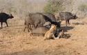 Video: Trâu rừng hùng hổ cứu bạn, thắng rồi lại bỏ đi