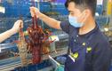 Loại tôm hùm khổng lồ ngon nhất thế giới đổ bộ Việt Nam