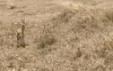Video: Sai lầm khiến linh dương bỏ mạng khi đối mặt chúa sơn lâm