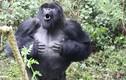 Các nhà khoa học tìm ra câu trả lời tại sao khỉ đột thường đập ngực