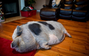 Người phụ nữ gốc Việt thắng kiện vụ nuôi lợn ỉ làm thú cưng