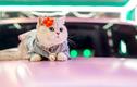 Chú mèo cưng giúp chủ kiếm hàng chục triệu mỗi tháng