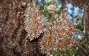 Khung cảnh thần tiên khi bướm vua di cư ở Bắc Mỹ