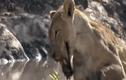 Video: Sư tử đau đớn vì bị hà mã cắn nát hàm