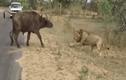 Video: Đối đầu chúa sơn lâm, trâu rừng phải trả giá bằng mạng sống