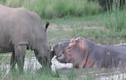 Video: Kỳ lạ cảnh tê giác và hà mã tình thương mến thương kết bạn