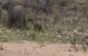 Video: Đàn chó hoang cố chấp săn voi sơ sinh và cái kết