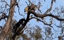 Video: Báo đen thoăn thoắt trèo lên ngọn cây uy hiếp báo hoa mai